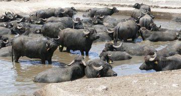Waterbuffelvlees kopen bij de boer - waterbuffel kopen - waterbuffelvlees pakket - www.Vleeskopenbijdeboer.nl